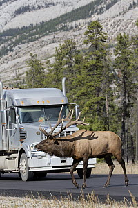 Rocky Mountain Elk (Cervus canadensis nelsoni) bull crossing road near truck, North America - Donald M. Jones