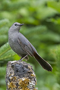 Gray Catbird (Dumetella carolinensis), North America - Donald M. Jones