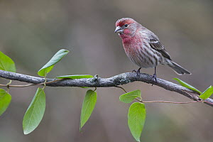 House Finch (Carpodacus mexicanus) male, southern Ohio  -  Donald M. Jones