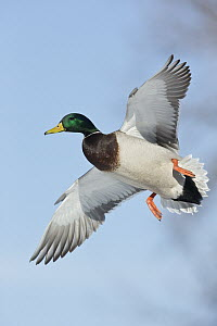 Mallard (Anas platyrhynchos) drake flying, central Montana  -  Donald M. Jones