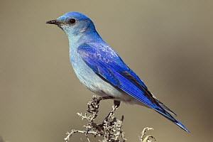 Mountain Bluebird (Sialia currucoides) male, Montana  -  Donald M. Jones