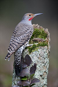 Northern Flicker (Colaptes auratus) male, Montana  -  Donald M. Jones