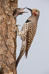 Northern Flicker (Colaptes auratus) male feeding chicks at nest cavity, Montana  -  Donald M. Jones
