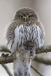 Mountain Pygmy-Owl (Glaucidium gnoma) with mouse prey, western Montana. Sequence 1 of 2  -  Donald M. Jones