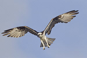 Osprey (Pandion haliaetus) flying, western Montana  -  Donald M. Jones