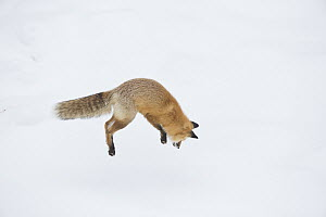 Red Fox (Vulpes vulpes) hunting vole in winter, Yellowstone National Park, Wyoming. Sequence 2 of 6  -  Donald M. Jones