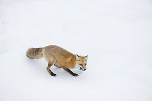 Red Fox (Vulpes vulpes) hunting vole in winter, Yellowstone National Park, Wyoming. Sequence 6 of 6  -  Donald M. Jones