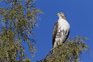 Red-tailed Hawk (Buteo jamaicensis), western Montana  -  Donald M. Jones
