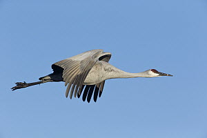 Sandhill Crane (Grus canadensis) flying, central New Mexico - Donald M. Jones