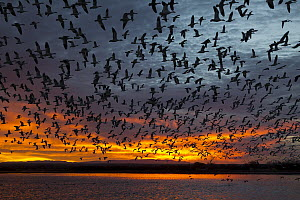 Snow Goose (Chen caerulescens) flock flying at sunrise, central New Mexico - Donald M. Jones