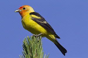 Western Tanager (Piranga ludoviciana) male, Montana  -  Donald M. Jones