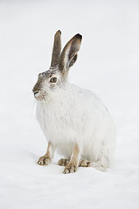 White-tailed Jack Rabbit (Lepus townsendii) in winter, central Montana  -  Donald M. Jones