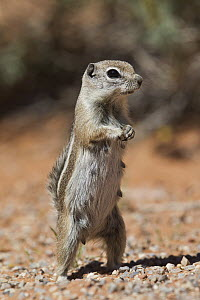 White-tailed Antelope Squirrel (Ammospermophilus leucurus) female on guard, southern Nevada - Donald M. Jones
