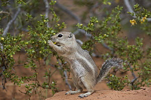 White-tailed Antelope Squirrel (Ammospermophilus leucurus) feeding on flowers, southern Nevada - Donald M. Jones