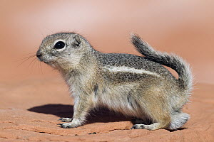 White-tailed Antelope Squirrel (Ammospermophilus leucurus), southern Nevada  -  Donald M. Jones