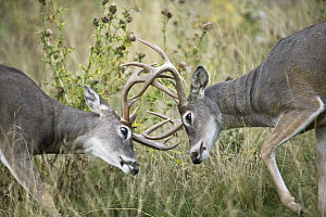 White-tailed Deer (Odocoileus virginianus) bucks sparring, western Montana  -  Donald M. Jones