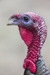 Wild Turkey (Meleagris gallopavo) male, western Montana - Donald M. Jones
