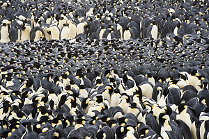 Emperor Penguin (Aptenodytes forsteri) colony huddling for warmth, Queen Maud Land, Antarctica  -  Stefan Christmann