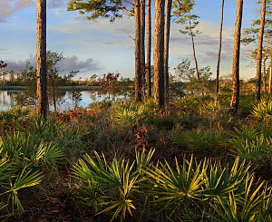 Saw Palmetto (Serenoa repens) and Longleaf Pine (Pinus palustris) trees, Ochlockonee River State Park, Florida  -  Tim Fitzharris