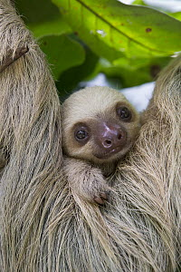 Hoffmann's Two-toed Sloth (Choloepus hoffmanni) two month old baby, Aviarios Sloth Sanctuary, Costa Rica  -  Suzi Eszterhas