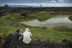 Greater Flamingo (Phoenicopterus ruber) in lagoon with tourists nearby, Isabela Island, Galapagos Islands, Ecuador - Pete Oxford