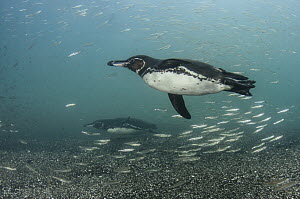 Galapagos Penguin (Spheniscus mendiculus) swimming underwater, Galapagos Islands, Ecuador  -  Pete Oxford