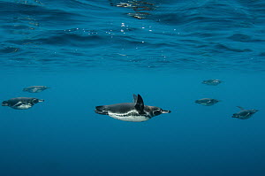 Galapagos Penguin (Spheniscus mendiculus) group swimming, Galapagos Islands, Ecuador  -  Pete Oxford