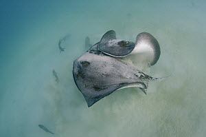 Diamond Stingray (Dasyatis brevis) pair fighting, Galapagos Islands, Ecuador - Pete Oxford