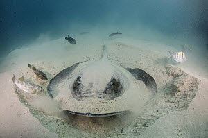 Diamond Stingray (Dasyatis brevis) digging in sand, Galapagos Islands, Ecuador - Pete Oxford
