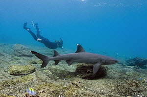 White-tip Reef Shark (Triaenodon obesus) and snorkeler, Galapagos Islands, Ecuador  -  Pete Oxford