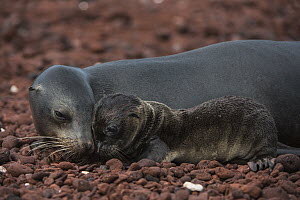 Galapagos Sea Lion (Zalophus wollebaeki) mother nuzzling pup, Rabida Island, Galapagos Islands, Ecuador - Pete Oxford