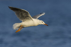 Slender-billed Gull (Larus genei) flying, Eilat, Israel - Avi Meir