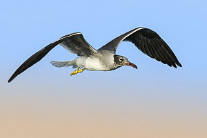 White-eyed Gull (Larus leucophthalmus) flying, Eilat, Israel - Avi Meir