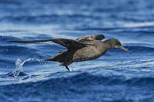 Sooty Shearwater (Puffinus griseus) taking flight, Eilat, Israel - Avi Meir