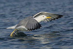 Caspian Gull (Larus cachinnans) taking flight, Eilat, Israel - Avi Meir