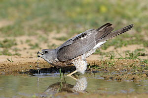 Levant Sparrowhawk (Accipiter brevipes) female drinking, Eilat, Israel. Sequence 1 of 3 - Avi Meir