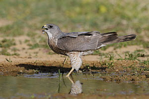 Levant Sparrowhawk (Accipiter brevipes) female drinking, Eilat, Israel. Sequence 2 of 3  -  Avi Meir