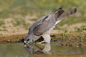 Levant Sparrowhawk (Accipiter brevipes) female drinking, Eilat, Israel. Sequence 3 of 3 - Avi Meir