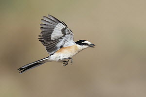 Masked Shrike (Lanius nubicus) male flying, Eilat, Israel - Avi Meir