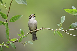 Brown-headed Honeyeater (Melithreptus brevirostris) calling, Victoria, Australia  -  Jan Wegener