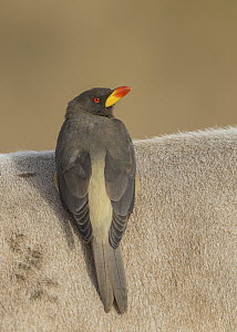 Yellow-billed Oxpecker (Buphagus africanus) on antelope, Gambia  -  David Williams