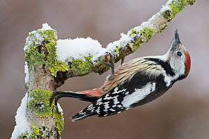 Middle Spotted Woodpecker (Dendrocopos medius), Saxony-Anhalt, Germany  -  Thomas Hinsche