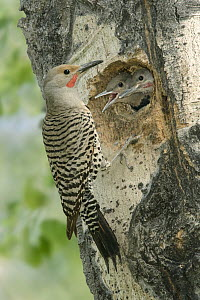 Northern Flicker (Colaptes auratus) male at nest cavity with chicks, British Columbia, Canada  -  Alan Murphy