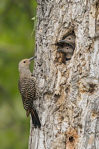Northern Flicker (Colaptes auratus) female at nest cavity with chicks, British Columbia, Canada - Alan Murphy