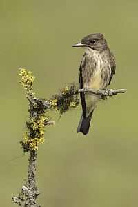 Olive-sided Flycatcher (Contopus cooperi), British Columbia, Canada  -  Alan Murphy