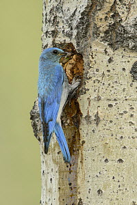 Mountain Bluebird (Sialia currucoides) male with prey at nest cavity, British Columbia, Canada  -  Alan Murphy