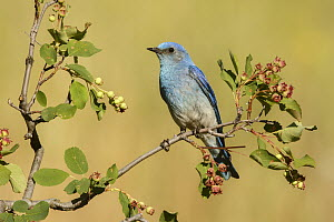 Mountain Bluebird (Sialia currucoides) male, British Columbia, Canada  -  Alan Murphy