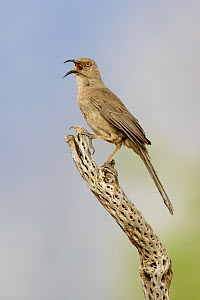 Curve-billed Thrasher (Toxostoma curvirostre) calling, Arizona  -  Alan Murphy