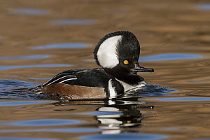 Hooded Merganser (Lophodytes cucullatus) male displaying, New Mexico - Alan Murphy