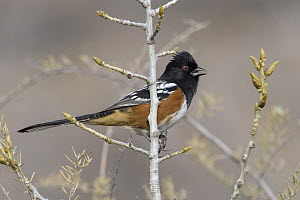 Spotted Towhee (Pipilo maculatus), New Mexico  -  Alan Murphy